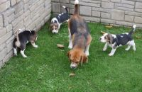 Beagle Puppies for sale in Knoxville, TN, USA. price: NA