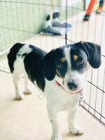 Beagle Puppies for sale in Naples, FL, USA. price: NA