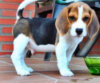 Beagle Puppies for sale in Phoenix Airport Center, Phoenix, AZ 85034, USA. price: NA