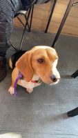 Beagle Puppies for sale in 2430 Bronxwood Ave, The Bronx, NY 10469, USA. price: NA