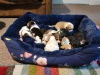 Beagle Puppies for sale in Burlington, VT, USA. price: NA