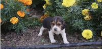 Beagle Puppies for sale in Hackensack, NJ, USA. price: NA