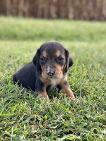 Beagle Puppies for sale in Ina, IL 62846, USA. price: NA