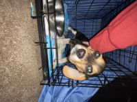 Beagle Puppies for sale in 2605 Cashwell Dr, Goldsboro, NC 27534, USA. price: NA