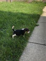 Beagle Puppies for sale in Chicago, IL, USA. price: NA