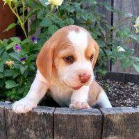 Beagle Puppies for sale in Shoreline, WA, USA. price: NA