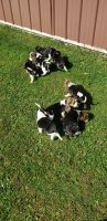 Beagle Puppies for sale in Cattaraugus, NY 14719, USA. price: NA