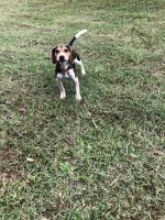 Beagle Puppies for sale in Easley, SC, USA. price: NA