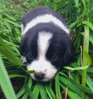 Beagle Puppies for sale in Sarasota, FL, USA. price: NA