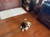 Beagle Puppies for sale in Compton, CA, USA. price: NA