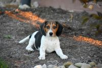 Beagle Puppies for sale in Beavercreek, OH 45324, USA. price: NA