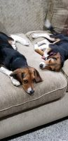 Beagle Puppies for sale in Clear Lake, MN 55319, USA. price: NA