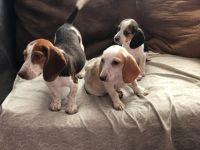 Beagle Puppies for sale in Rialto, CA, USA. price: NA