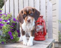 Beagle Puppies for sale in Los Angeles, CA, USA. price: NA
