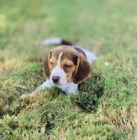 Beagle Puppies for sale in 1921 Cactus Mound Dr, Leander, TX 78641, USA. price: NA