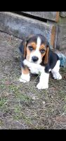 Beagle Puppies for sale in Valrico, FL, USA. price: NA