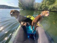 Beagle Puppies for sale in Bella Vista, AR, USA. price: NA