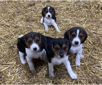 Beagle Puppies for sale in Denver Tech Center, Greenwood Village, CO, USA. price: NA