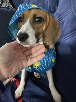 Beagle Puppies for sale in Brooklyn, NY, USA. price: NA