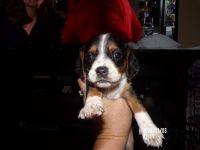 Beagle Puppies for sale in Virginia Beach, VA, USA. price: NA