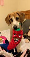 Beagle Puppies for sale in Farmville, VA 23901, USA. price: NA