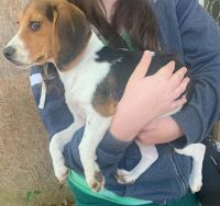 Beagle Puppies for sale in Camden, AR 71701, USA. price: NA