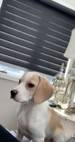 Beagle Puppies for sale in Moore, SC 29369, USA. price: NA
