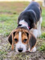 Beagle Puppies for sale in Hendersonville, TN, USA. price: NA
