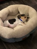 Beagle Puppies for sale in Post Falls, ID 83854, USA. price: NA