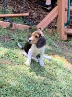 Beagle Puppies for sale in 57 Whispering Pines Dr, Signal Mountain, TN 37377, USA. price: NA