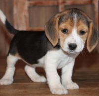 Beagle Puppies for sale in San Diego, CA, USA. price: NA