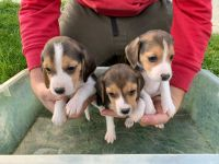Beagle Puppies for sale in Harlan, KY, USA. price: NA