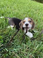 Beagle Puppies for sale in Quincy, MA, USA. price: NA