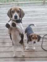 Beagle Puppies for sale in Lawrenceville, IL 62439, USA. price: NA