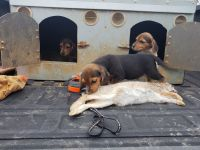 Beagle Puppies for sale in Meade County, KY, USA. price: NA