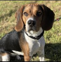 Beagle Puppies for sale in Simi Valley, CA 93065, USA. price: NA