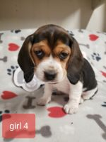 Beagle Puppies for sale in Holcomb, MS 38940, USA. price: NA
