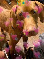 Beagle Puppies for sale in Cedar Rapids, IA 52404, USA. price: NA
