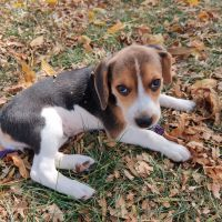 Beagle Puppies for sale in St Charles, MO, USA. price: NA
