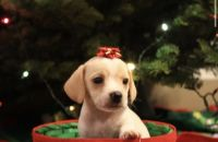 Beagle Puppies for sale in Salem, OR, USA. price: NA