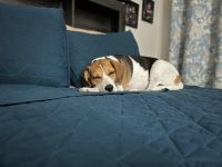 Beagle Puppies for sale in Winter Park, FL, USA. price: NA