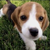 Beagle Puppies for sale in San Jose, CA, USA. price: NA