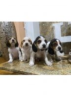 Beagle Puppies for sale in Winnetka, Los Angeles, CA, USA. price: NA