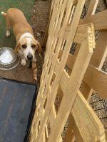 Beagle Puppies for sale in 11059 Milano Ln, Hampton, GA 30228, USA. price: NA