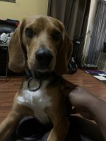 Beagle Puppies for sale in Missouri City, TX, USA. price: NA