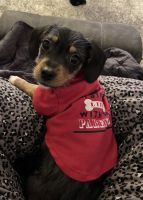 Beagle Puppies for sale in Porter Ranch, CA 91326, USA. price: NA
