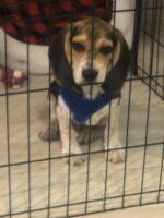 Beagle Puppies for sale in 12226 SW 17th Ln, Miami, FL 33175, USA. price: NA
