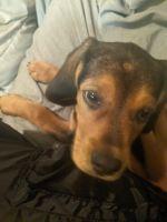 Beagle Puppies for sale in S University Blvd, Mobile, AL, USA. price: NA