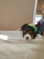 Beagle Puppies for sale in Portland, ME, USA. price: NA