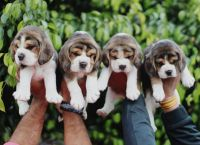 Beagle Puppies for sale in Ohio City, Cleveland, OH, USA. price: NA